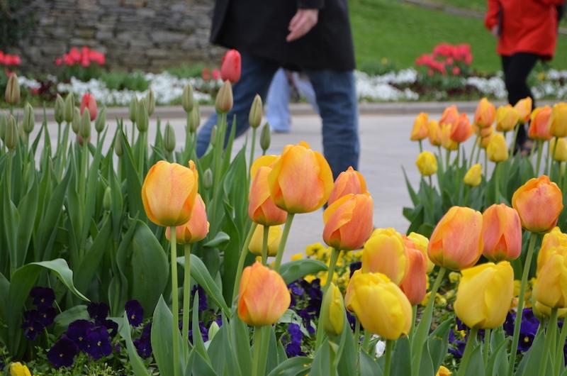 Tulip Peach