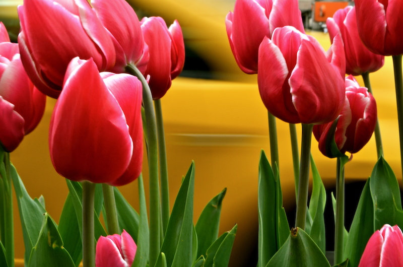 Tulips and Taxis