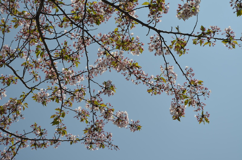 Cherry blossoms: a beautiful start to a wonderful hike
